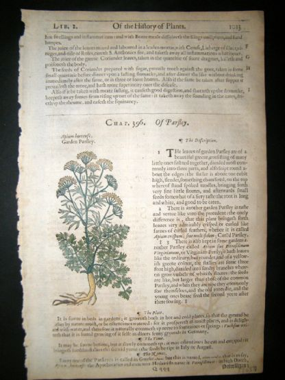 Gerards Herbal 1633 Hand Col Botanical Print. Garden & Water Parsley | Albion Prints